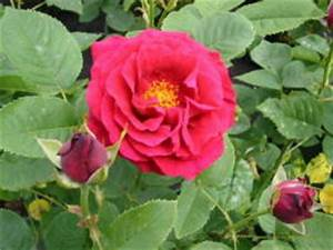 Alte Rosensorten Stark Duftend : rosensorten duftrosen fi fiametta fidelio fides ~ Michelbontemps.com Haus und Dekorationen