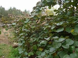 L Arbre Du Kiwi : arbre a kiwi photo typique arbre kiwi le san pellegrino arbre de kiwi photo stock image ~ Melissatoandfro.com Idées de Décoration