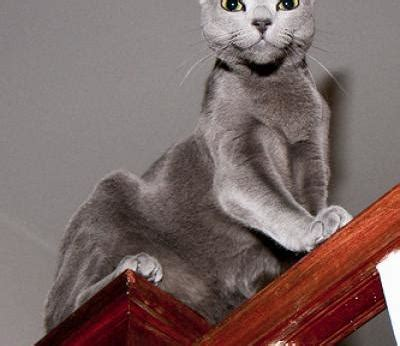 russian blue cats russian blue cat breed info pictures