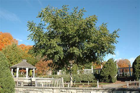majesty cork tree phellodendron  majesty