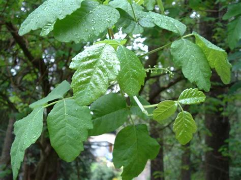 pictures of poison poison oak pictures