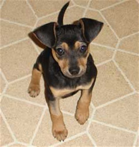 miniature pinscher mix photos and information miniature pinscher animal and terrier