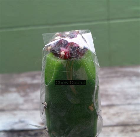 การกราฟแคคตัสด้วยตอลูกผสม | Chow Cactus