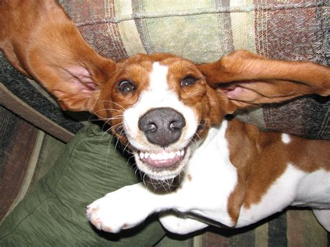 truffles  basset hound mix funny pictures  puppy