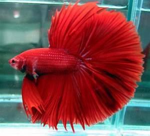 NATURE'S BEAUTY: BETTA FISH