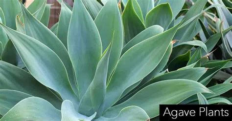 how to care for agave plant top 28 agave plants care learn2grow agave the palm room how to care for agave plant