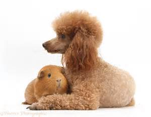 Miniature Red Toy Poodle with Guinea Pigs