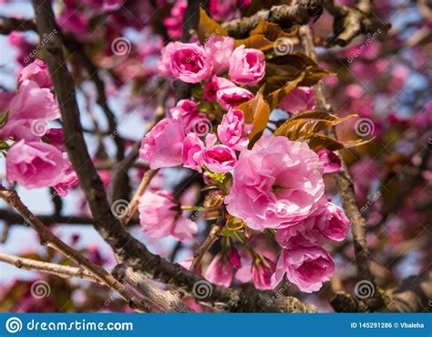 Pink Japanese Cherry tree Blossom Sakura Stock Photo