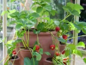 planter des fraisiers en pot fraisier en pot conseil culture et plantation