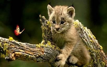 Animals Nature Wild Fanpop Animated Lynx Animal