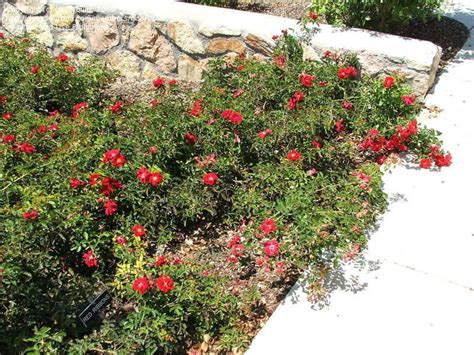 Plantfiles Pictures Shrub Rose Groundcover Rose Red
