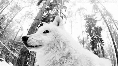 Wolf Precious Wild Lol Amazing Animal Perfect