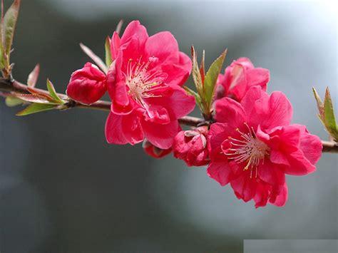Image result for hoa mai hoa dao images