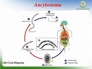 Ppt - Phylum  Nemathelminthes Class  Nematoda Ancylostoma Powerpoint Presentation