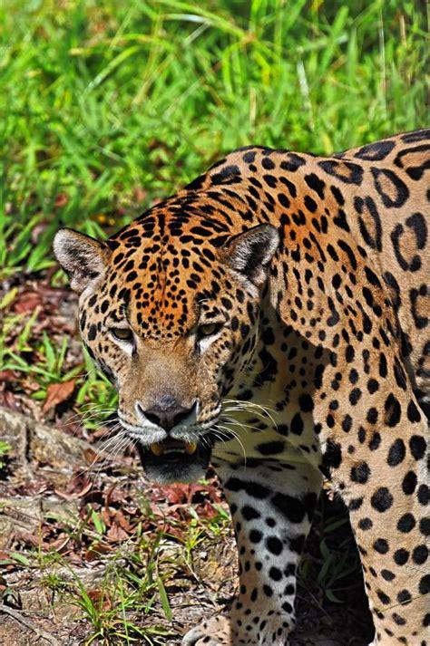 Jaguar Cat species Animals beautiful Wild cats
