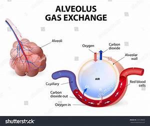 Alveolus Gas Exchange Pulmonary Alveolus Alveoli Stock