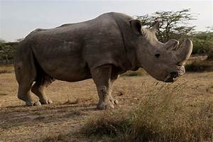 rip sudan world 39 s last surviving white rhino dies of
