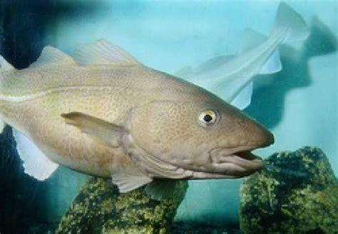 11 Atlantic cod (Gadus morhua ) | Download Scientific Diagram