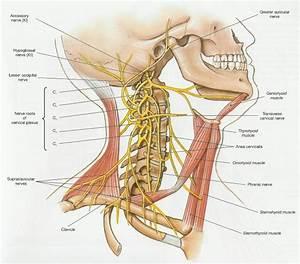 Sistema Nervoso Centrale E Periferico  Nervi Spinali E