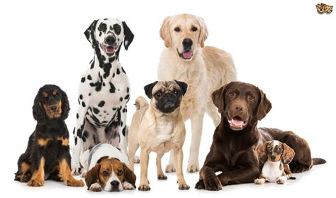 dog breeds  families petshomes