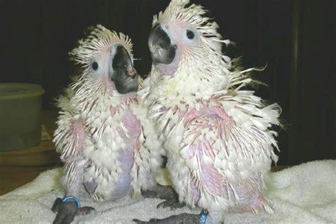 umbrella cockatoo white cockatoo facts pet care pictures