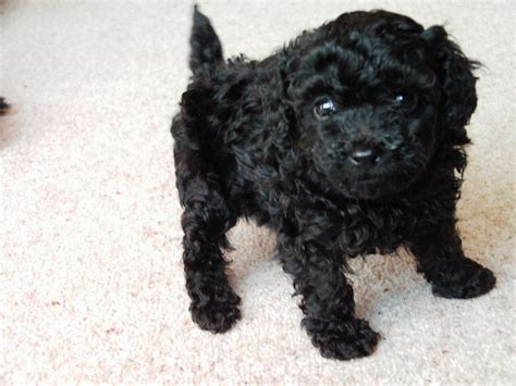 Image result for black toy poodle puppies