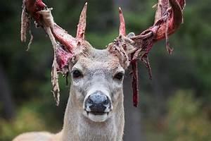 Deer Shedding It U0026 39 S Velvet    Natureisfuckinglit