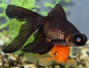 Pet Supplies and Toys: Types of Goldfish