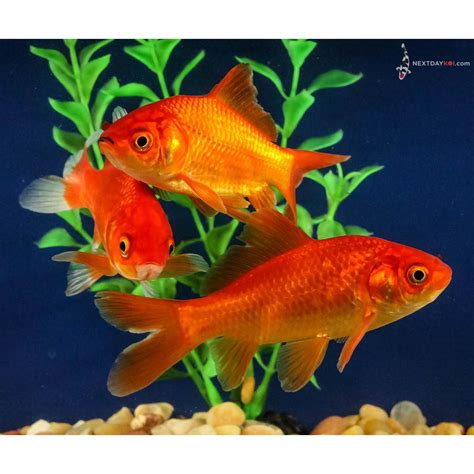 Red Comet Goldfish
