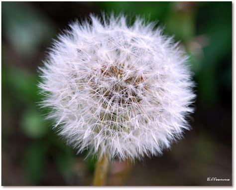 tarassaco fiore tarassaco foto immagini piante fiori e funghi macro