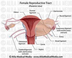Female Reproductive System Diagram Labeled Beautiful Alila