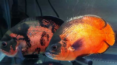 alimentos dos meus peixes oscar youtube