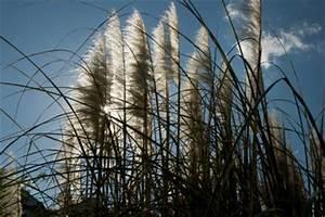 Pampasgras Wann Schneiden : wann treibt pampasgras wieder aus wissenswertes zu ~ Lizthompson.info Haus und Dekorationen