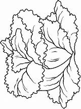 Lettuce Coloring Pages Vegetables Colors Recommended Mycoloring sketch template
