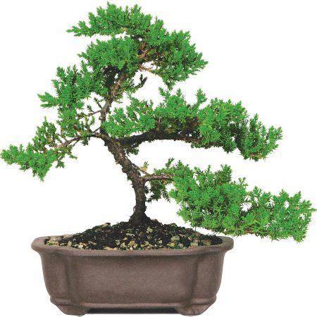 food indoor bonsai tree juniper bonsai bonsai