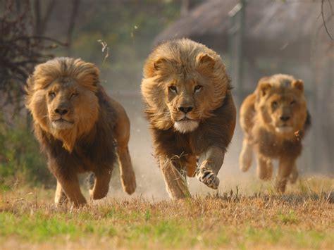 African Lion Facts  The Subsaharan Big Cats Pinstorus