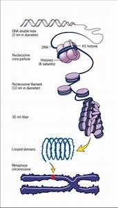 1  Chromosomes Are Made Of Dna