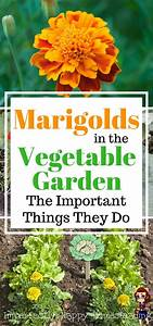 marigolds in the vegetable garden important things they do With things to plant in a vegetable garden