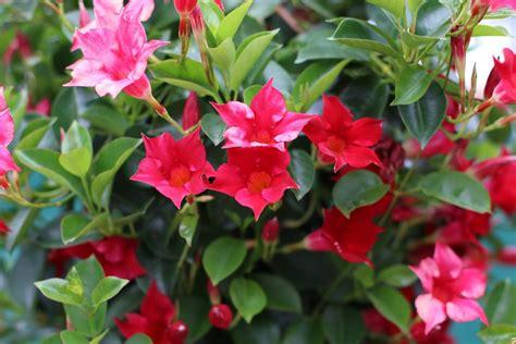 schoene schnellwachsende kletterpflanzen und rankpflanzen