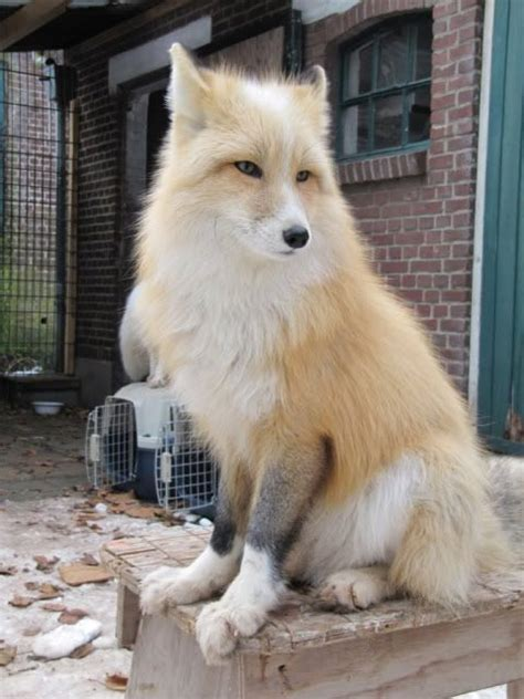 domesticated fox domesticated siberian fox fuzzy feathered gilled or scaled pin