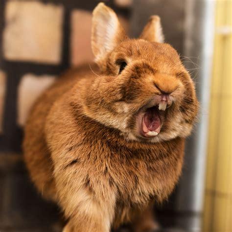 rabbit yawning http://ift.tt/2ekHvoi | Cute