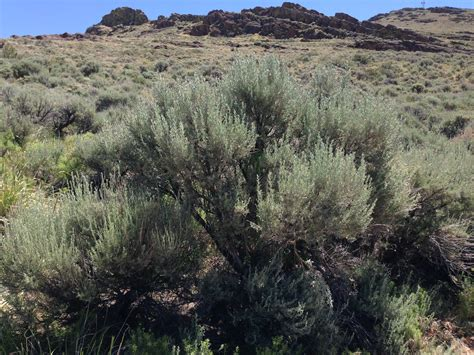 File:2014-06-28 11 25 56 Big sagebrush on the northwestern ...