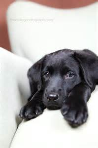 Baby Black Labs Dogs Puppies