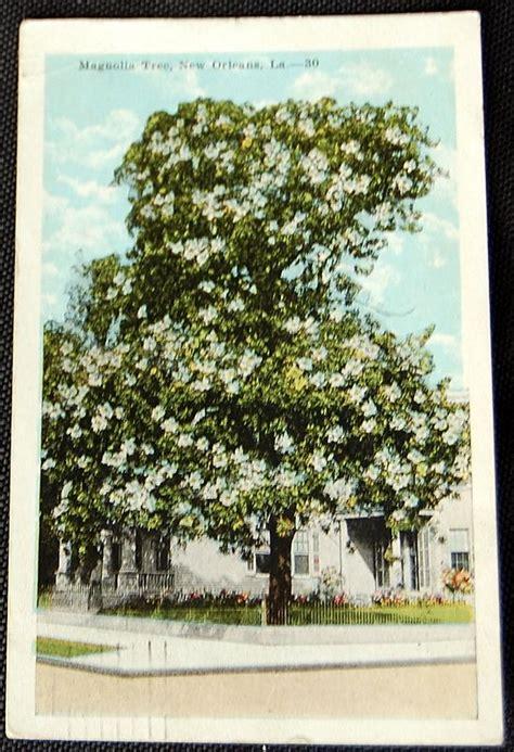 magnolia tree  orleans louisiana postcard