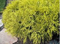 gold thread cypress A GUIDE TO NORTHEASTERN GARDENING: Colorful Evergreens in ...