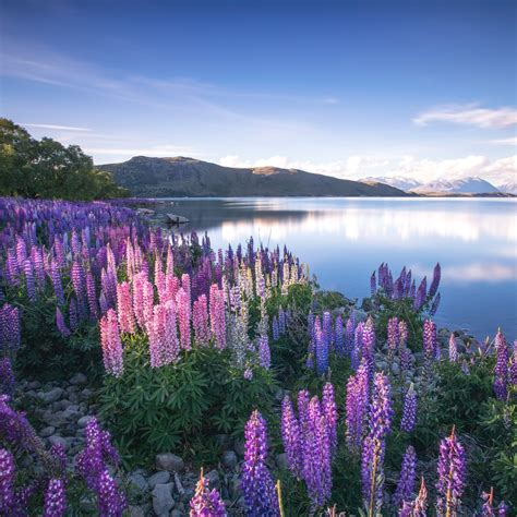 Lake Tekapo Lake Tekapo New Zealand Lake Tekapo In New