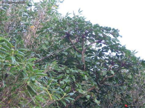 Schefflera Alpina Chb09.vi27