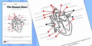 The Human Heart Labelling Worksheet  Teacher Made