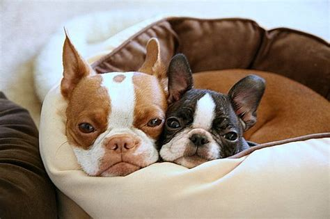 Cute Boston Terrier Dog Pictures You Will Love