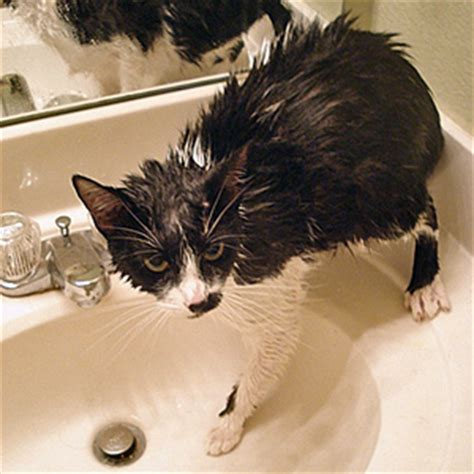 Can You Shower A Cat - how can i give my cat a bath can i give my cat